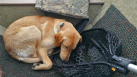 image of Eric Hutchins yellow lab