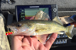 image of small walleye