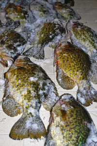 image of crappies of fillet table