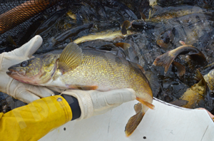 image links to article about spawning Walleye