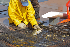 image of DNR staff at walleye egg harvest
