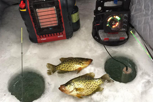 image of crappies on the ice