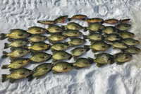 image of crappies