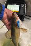 image of walleye