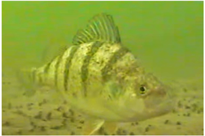 image of perch under the ice