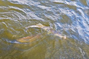 image of spawning walleye chasing another walleye