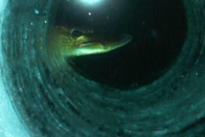 image of northern pike at ice hole