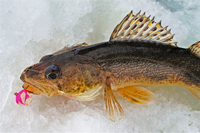 image of sauger caught on lake of the woods
