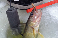 image of walleye at ice hole