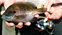 image of fisherman holding bluegill