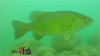 image links to Smallmouth Bass video